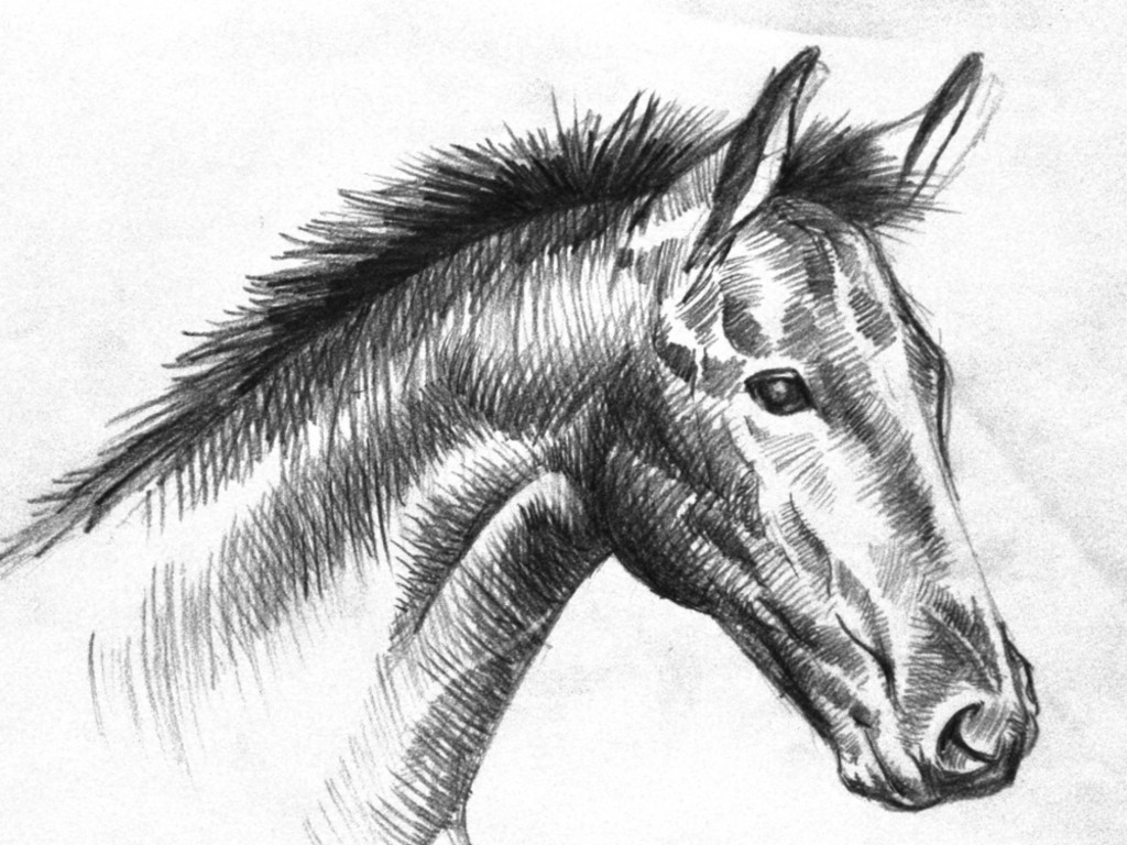 foal drawing the gentle eye horse head study drawing by renee forth foal drawing