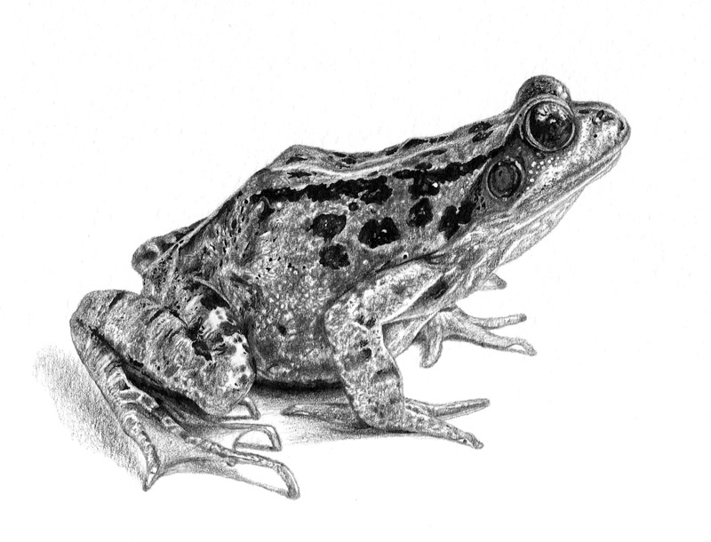 frog drawings vintage frog drawing digital two for tuesday august drawings frog