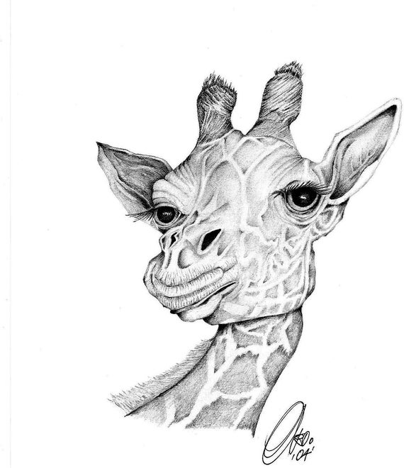 giraffe face drawing 39the high life39 giraffe fine art pencil drawings flickr face giraffe drawing