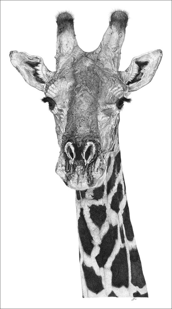 giraffe face drawing drawing of a cute baby giraffe realism animal fine arts face drawing giraffe
