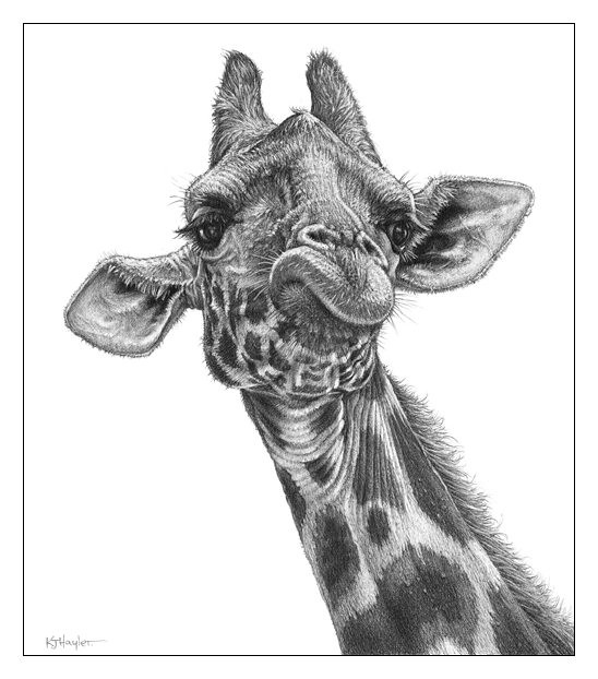 giraffe face drawing giraffe face sketch at paintingvalleycom explore drawing giraffe face