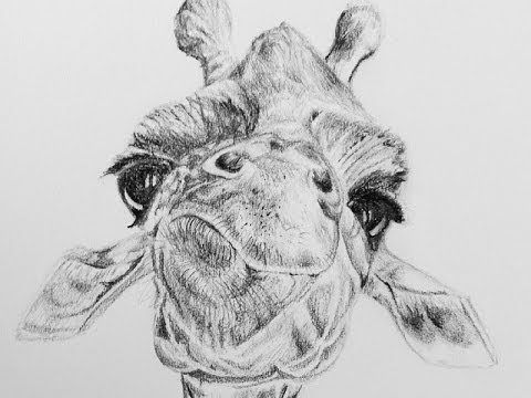 giraffe face drawing items similar to giraffe eating original pencil drawing giraffe drawing face