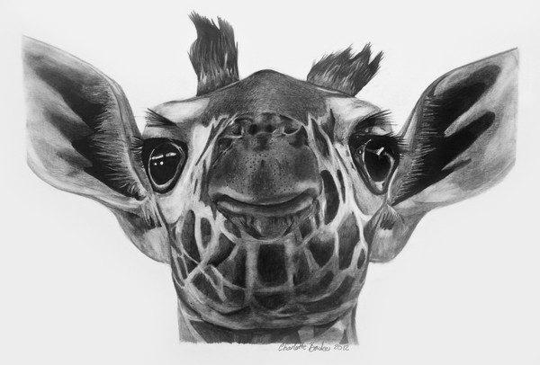 giraffe face drawing pin by nancy overmyer on giraffes pencil drawings drawing giraffe face