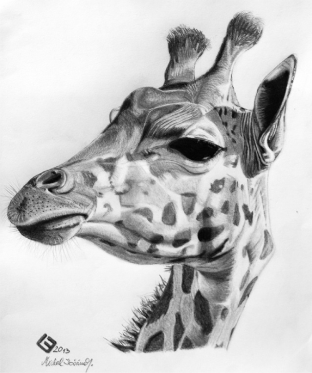 giraffe face drawing sketch 55 giraffe meli hitchcock illustration giraffe face drawing