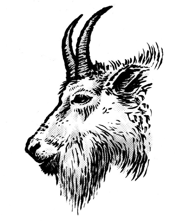 goat head drawing vector contour drawing of horned goat head stock goat drawing head