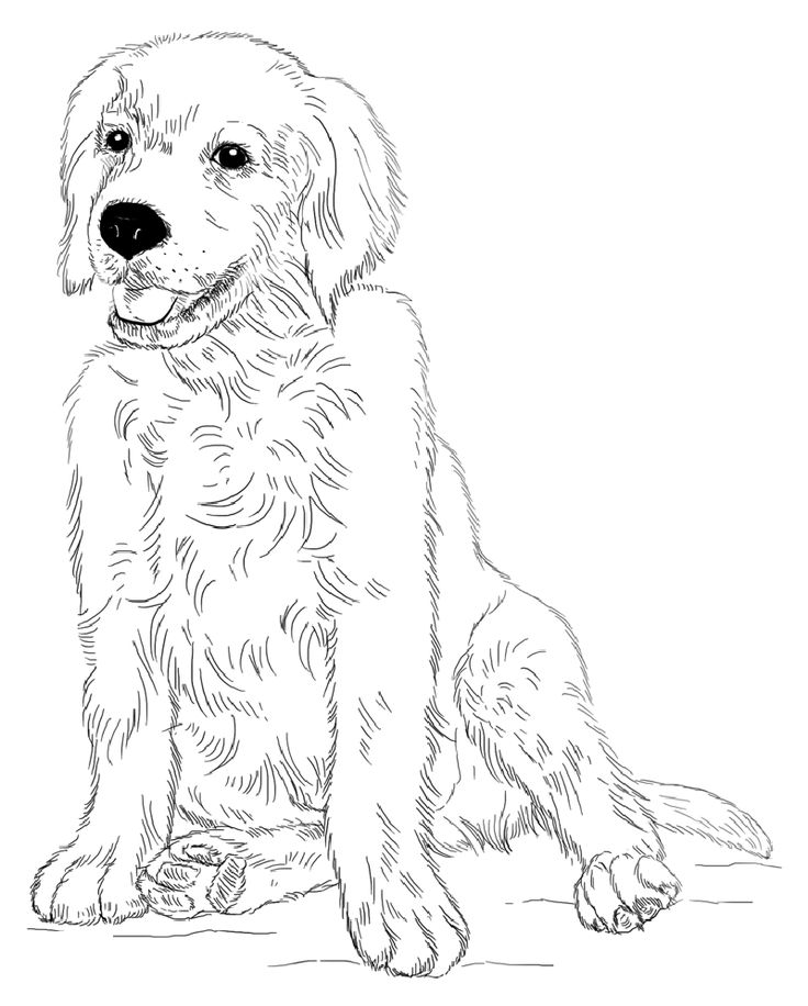 golden retriever coloring page golden retriever coloring pages free transparent clipart retriever golden page coloring