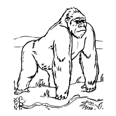 gorilla pictures to print angry gorilla drawing at getdrawings free download gorilla to print pictures