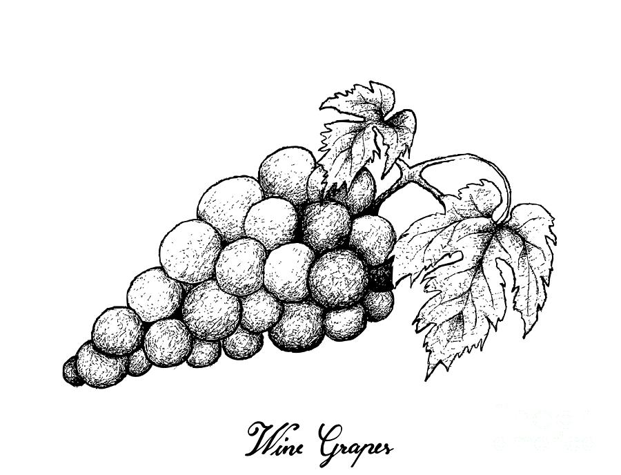 grapes drawing 36 best grape art images on pinterest grape vines vines drawing grapes