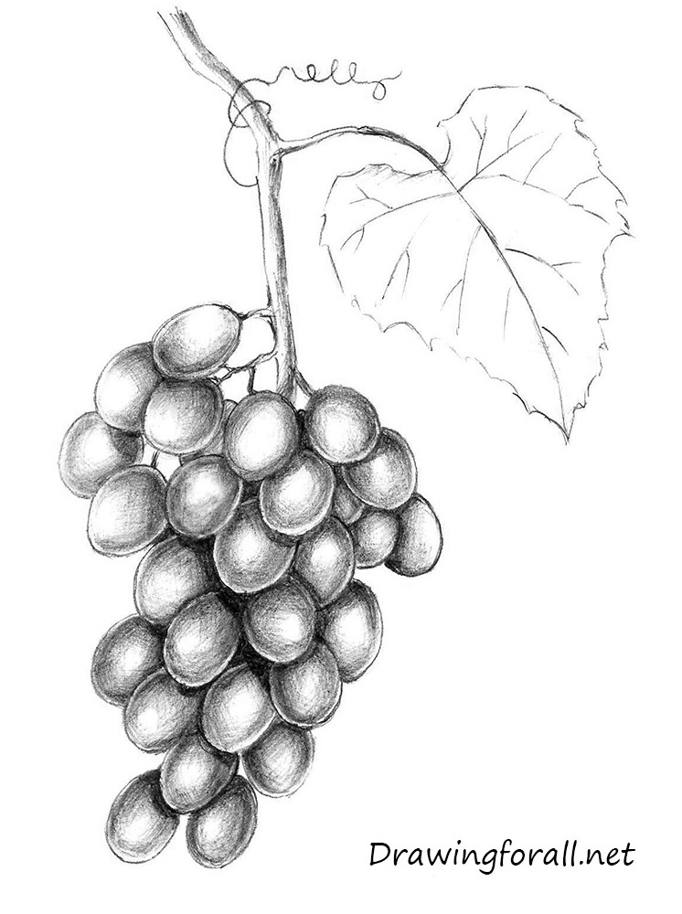 grapes drawing cluster of grapes free vintage clip art image old grapes drawing