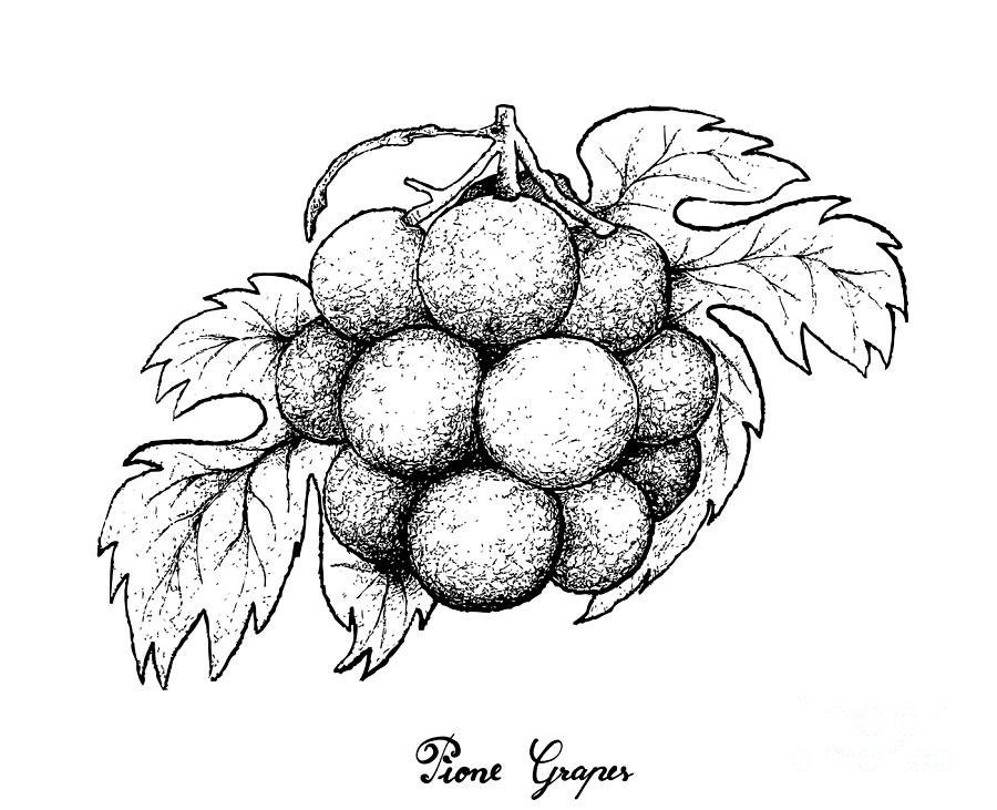 grapes drawing grapes black and white lineart free clip art fruit grapes drawing