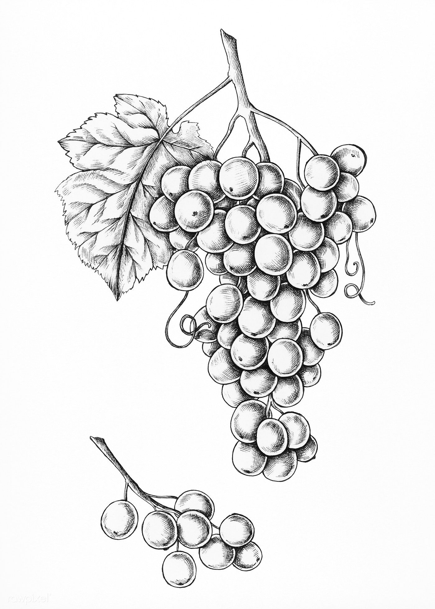 grapes drawing how to draw grapes with colored pencils grapes drawing