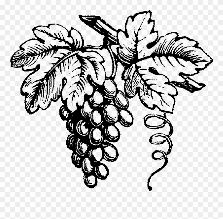 grapes drawing sketch grapes at paintingvalleycom explore collection grapes drawing