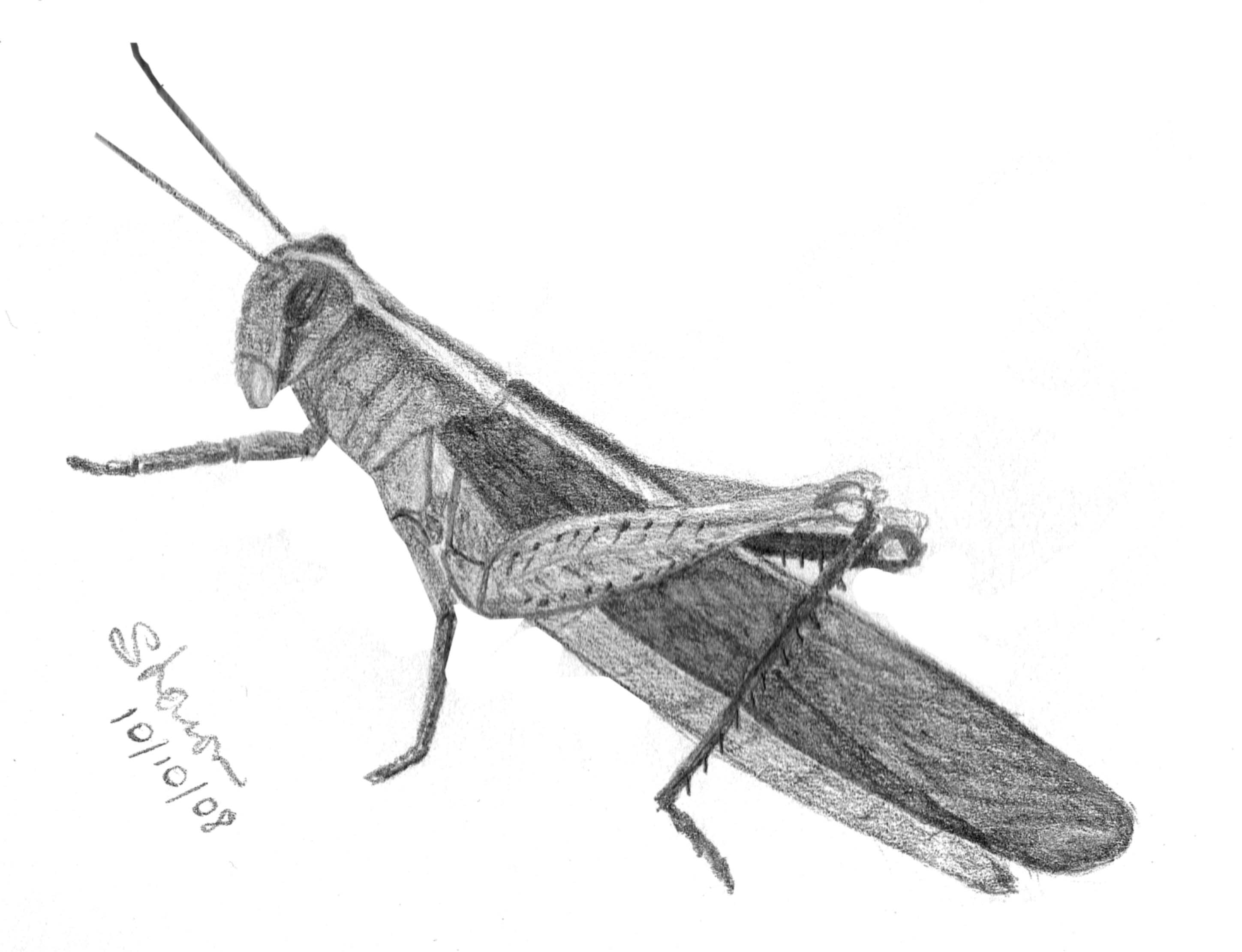 grasshopper drawing by scott woyak realistic grasshopper drawing free grasshopper drawing