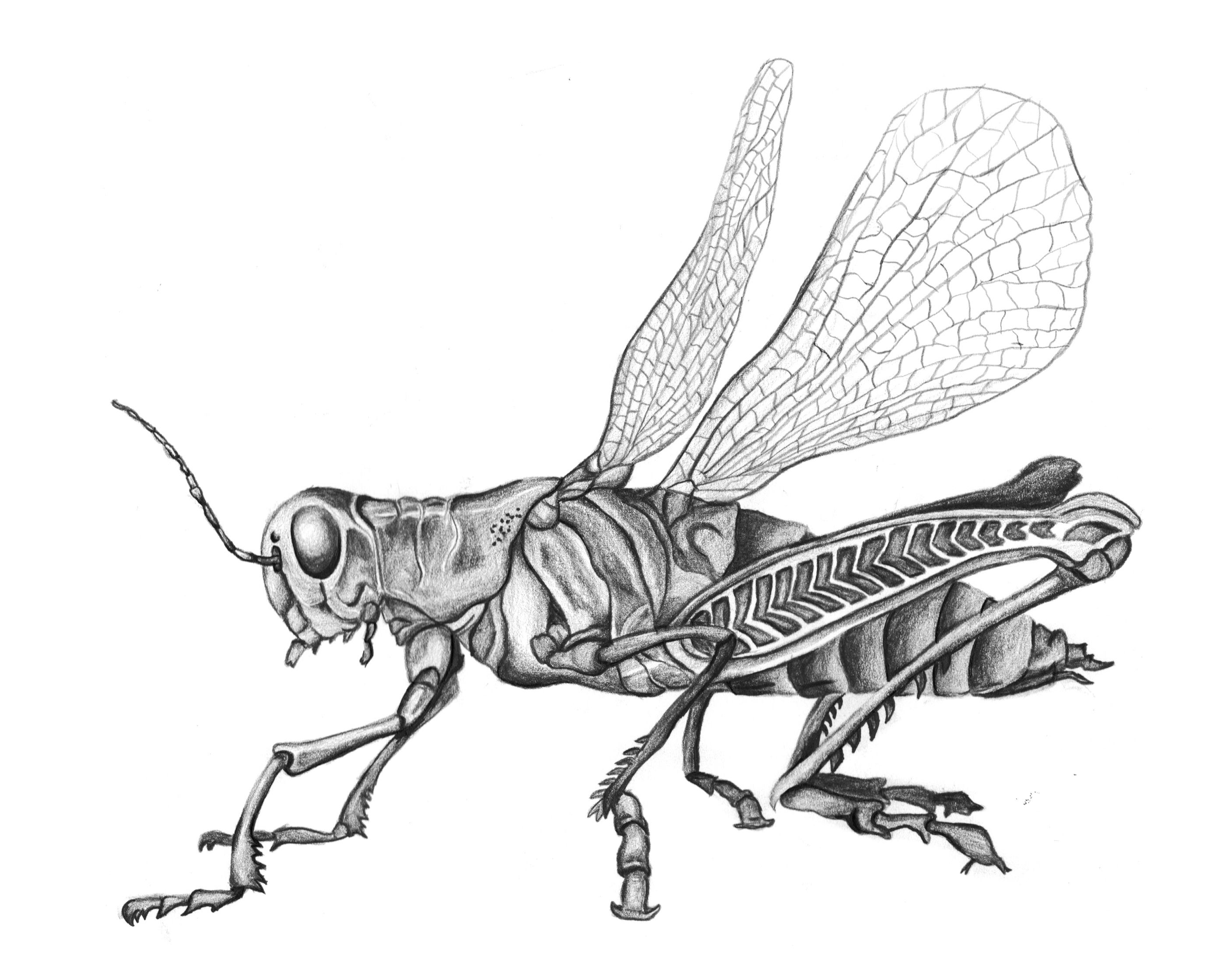 grasshopper drawing filegrasshopper psfpng wikimedia commons grasshopper drawing