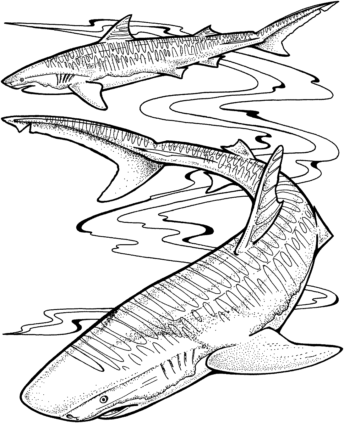 great white shark coloring sheet great white shark coloring pages clipart panda free shark great white sheet coloring
