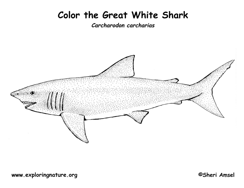 great white shark pictures to print free printable shark coloring pages for kids print shark pictures to great white