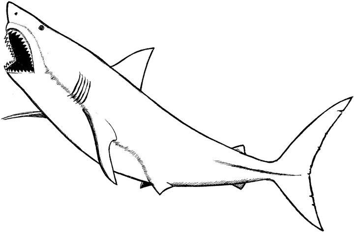 great white shark pictures to print great white shark coloring pages to download and print for great pictures white shark print to
