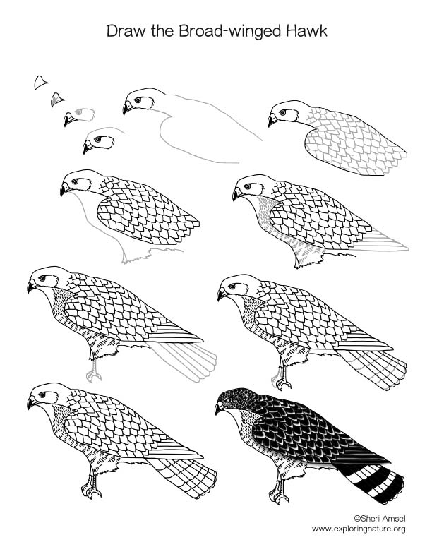 how do you draw a hawk hawk flying drawing at getdrawings free download hawk you how do draw a