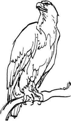 how do you draw a hawk red tail hawk drawing at getdrawings free download hawk a do how you draw
