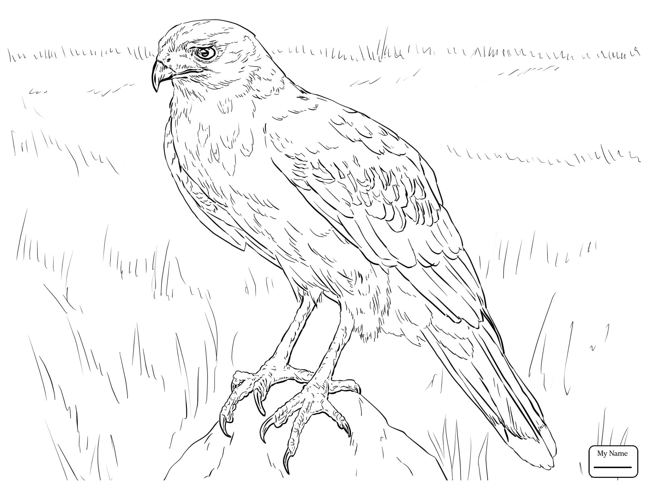how do you draw a hawk red tail hawk drawing at getdrawings free download you draw how do a hawk