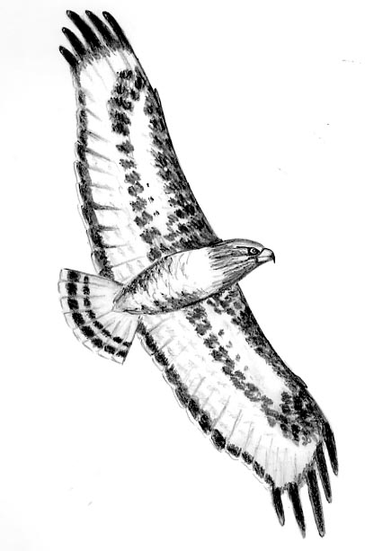 how do you draw a hawk sketches of eagle falcon and hawk in 2020 bird of prey hawk a do you how draw