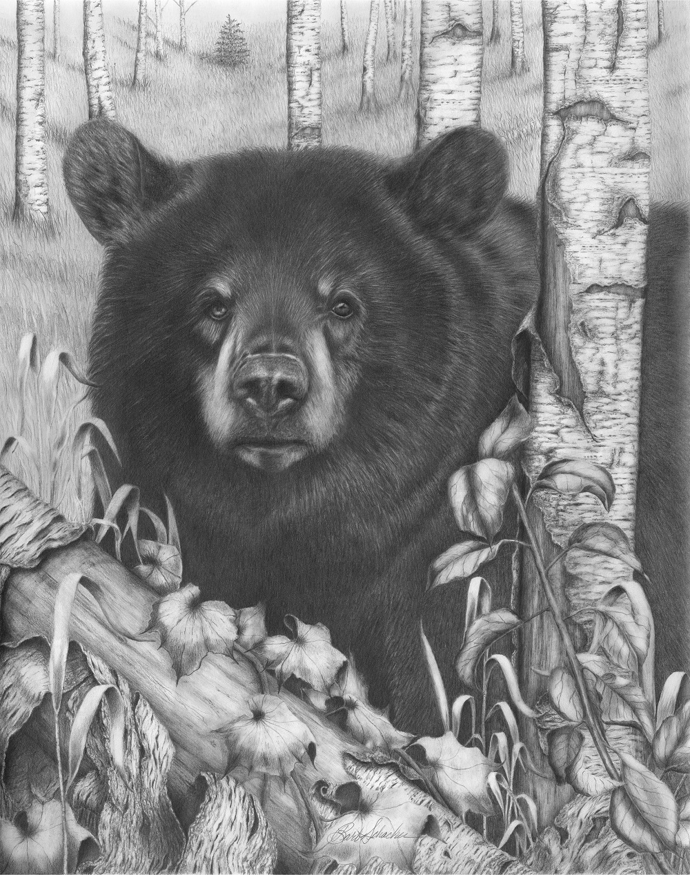 how to draw a black bear quotblack bear on newsome creekquot pencil drawing barb draw a how black to bear