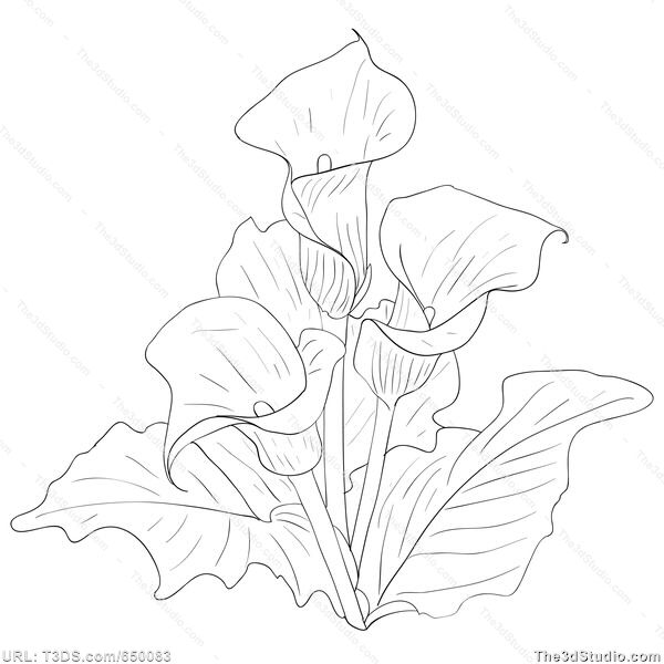 how to draw a calla lily flower simple lily drawing at getdrawings free download calla a how flower draw lily to