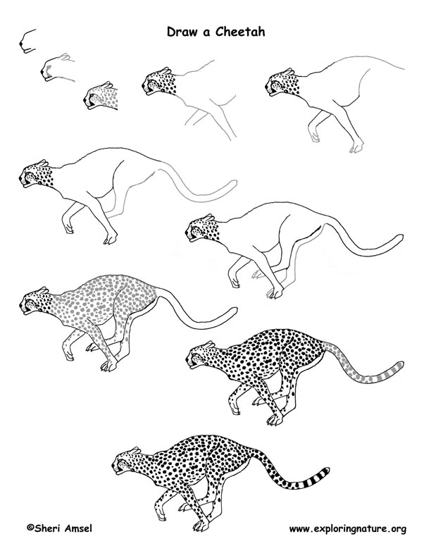 how to draw a cheetah step by step cheetah how to draw basic pencil drawing lessons on how step how draw to a cheetah by step