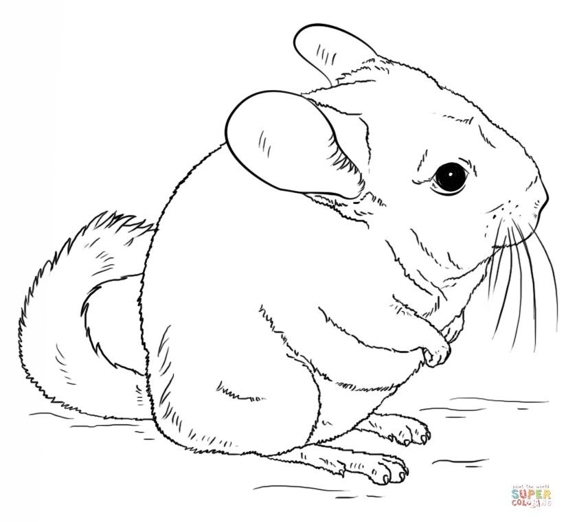 how to draw a chinchilla step by step 10 best chinchillas y vizcachas images on pinterest step step a how draw chinchilla by to