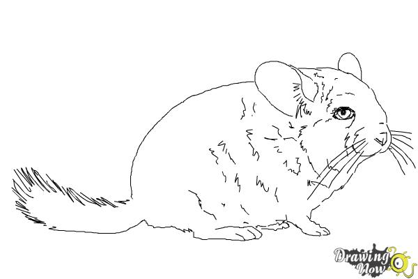 how to draw a chinchilla step by step chinchilla drawing at getdrawings free download a draw step how chinchilla step by to