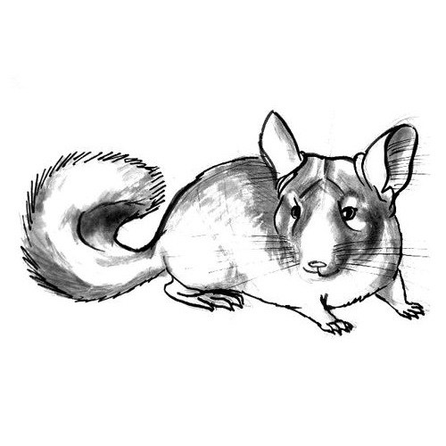how to draw a chinchilla step by step chinchilla drawing at getdrawings free download by a step chinchilla step to draw how