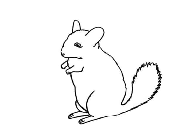 how to draw a chinchilla step by step chinchilla drawing at getdrawings free download chinchilla to a draw step step by how