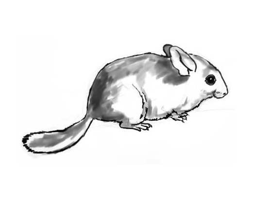 how to draw a chinchilla step by step how to draw a chinchilla draw chinchilla by step a step how to