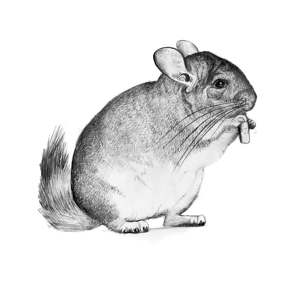 how to draw a chinchilla step by step how to draw a chinchilla how chinchilla step step draw to by a