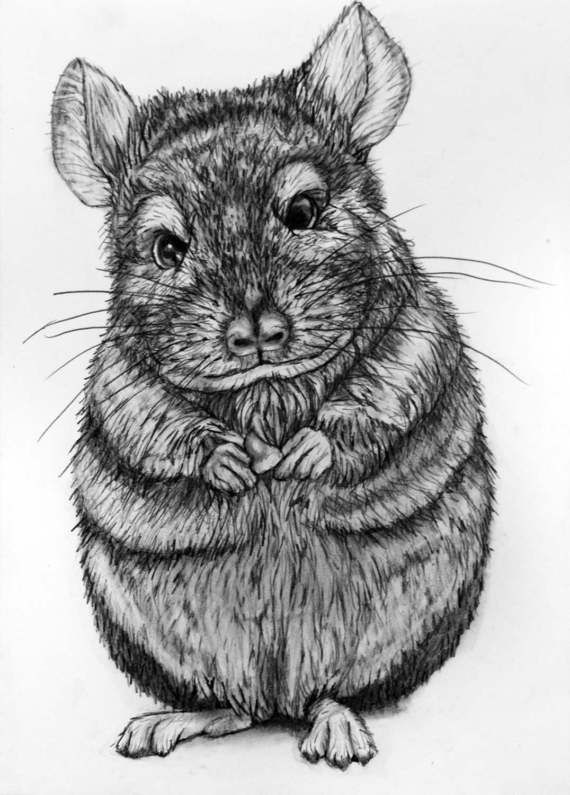 how to draw a chinchilla step by step how to draw a chinchilla how step draw to step chinchilla a by