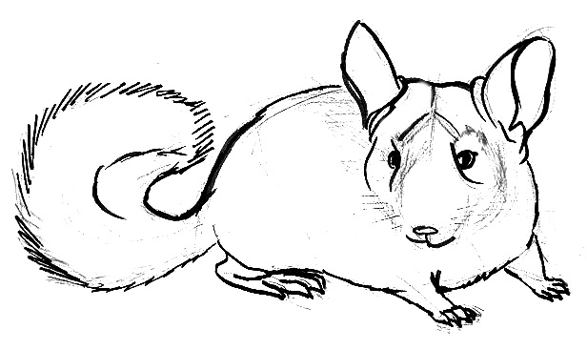 how to draw a chinchilla step by step how to draw a chinchilla neo coloring step chinchilla step how to by draw a