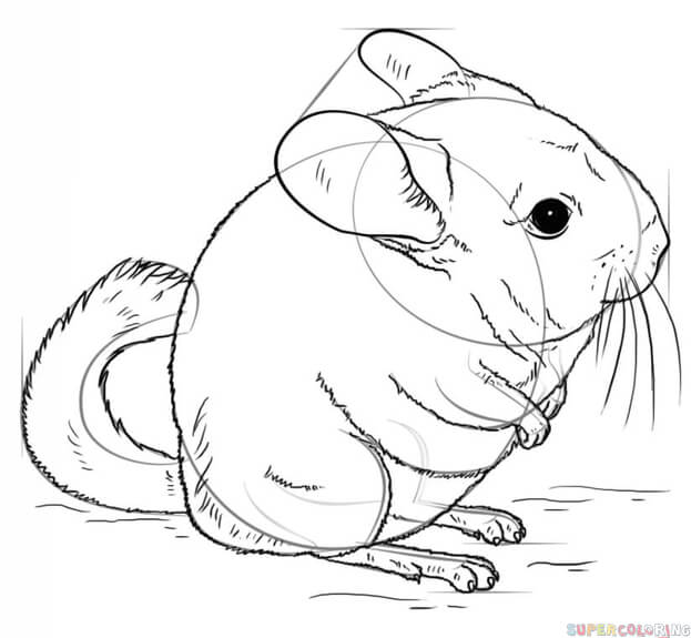 how to draw a chinchilla step by step learn how to draw a long tailed chinchilla rodents step step step by chinchilla how draw to a