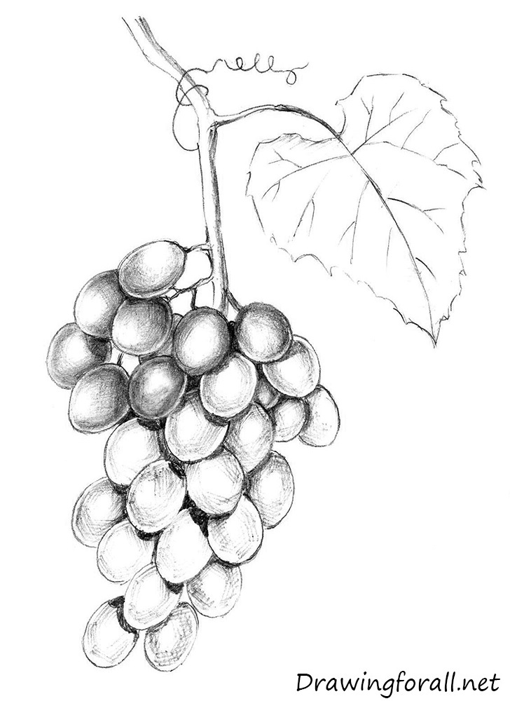 how to draw a grape best grape illustrations royalty free vector graphics how to draw a grape