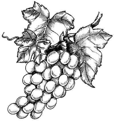 how to draw a grape grapes drawing free download on clipartmag how grape a to draw