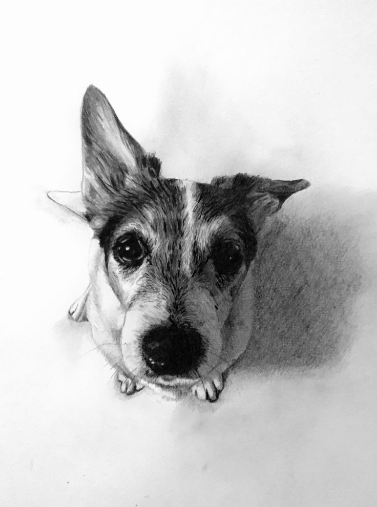 how to draw a jack russell dog drawing images free download on clipartmag jack a russell how draw to
