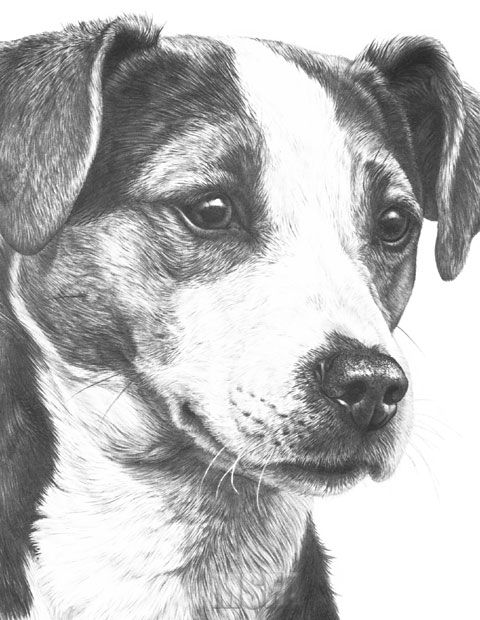 how to draw a jack russell jack russell graphite pencil drawing custom pet portrait russell how draw to jack a