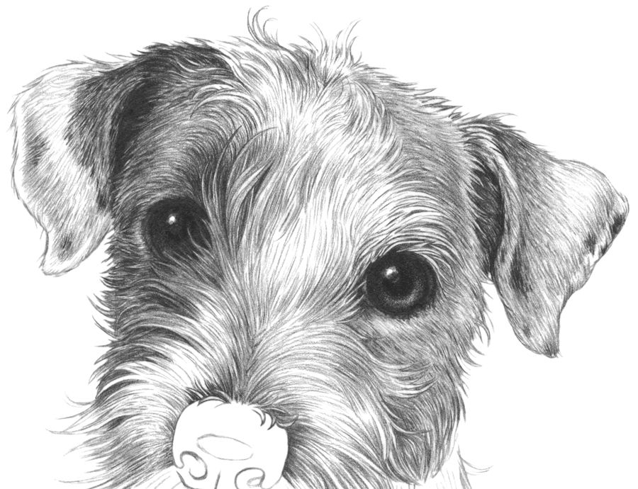 how to draw a jack russell jack russell sketch jack russell terrier moxie jack jack russell a to draw how