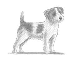 how to draw a jack russell jack russell terrier drawing at paintingvalleycom how draw a jack russell to