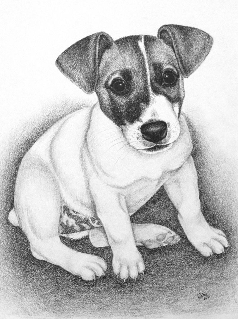 how to draw a jack russell jack russell terrier drawing drawing by kate sumners to how draw jack russell a