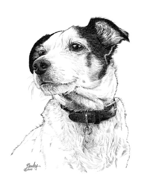 how to draw a jack russell jack russell terrier fine art dog drawing animal print russell draw jack a to how