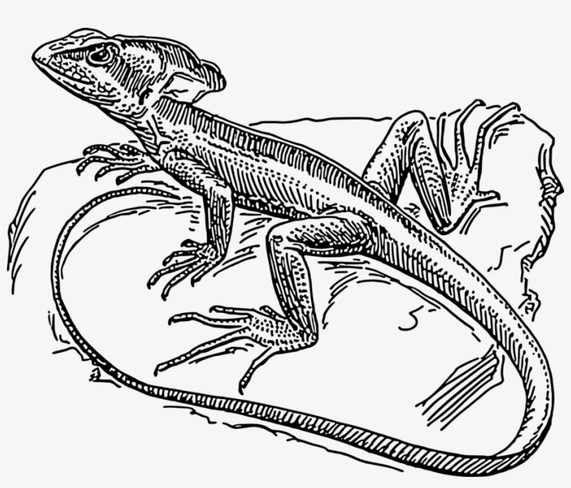 how to draw a lizard common basilisk plumed basilisk lizard coloring book a how draw to lizard