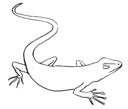 how to draw a lizard learn how to draw a lizard lizards step by step a draw to lizard how