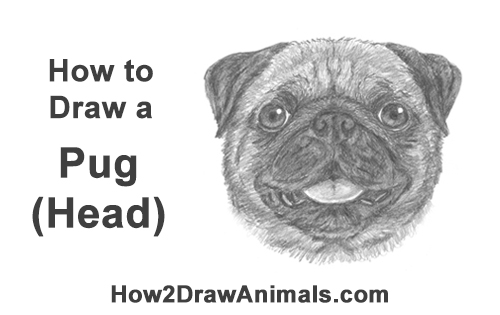 how to draw a pug face how to draw a realistic pug step 210000000835075jpg to draw pug a how face
