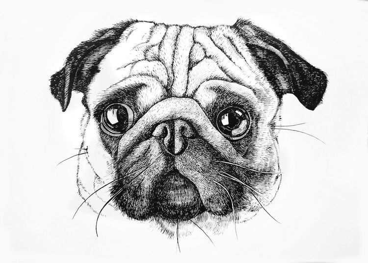 how to draw a pug face pug by magdalena888 on deviantart face a pug to how draw