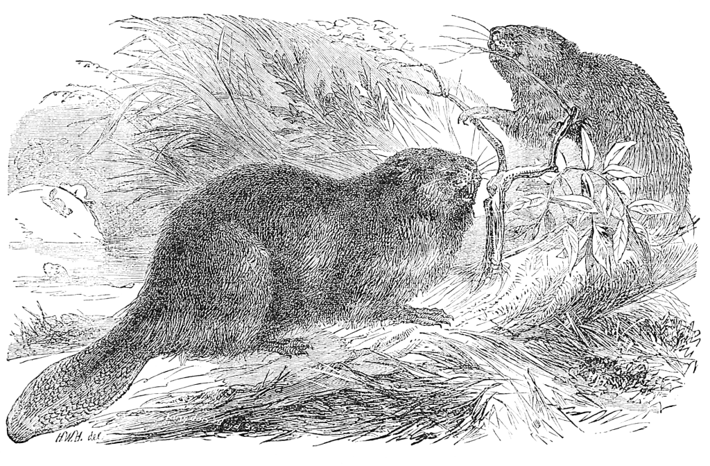 how to draw a realistic beaver 68 best beaver sketches images on pinterest beavers draw how a realistic to beaver